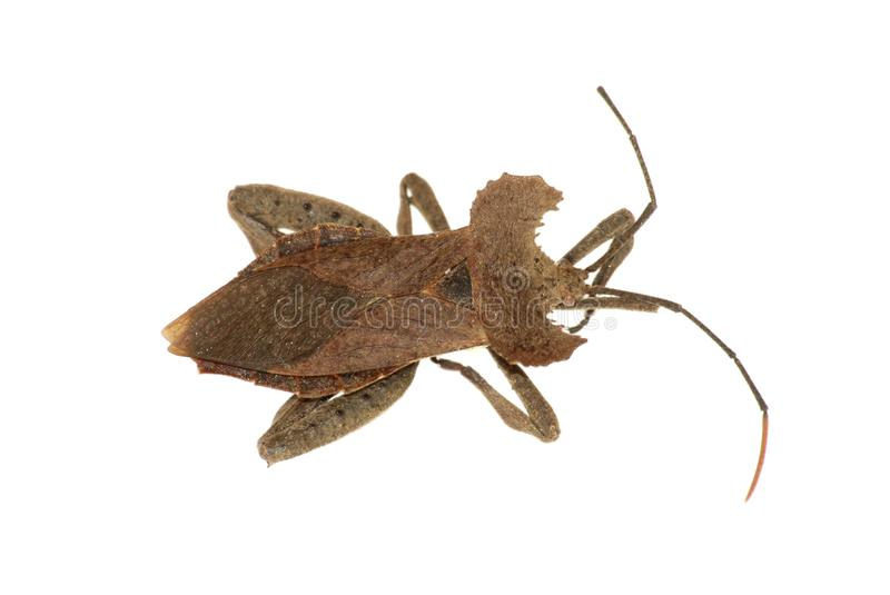 Download Rare Stink Bug Royalty Free Stock Photos - Image: 9569808