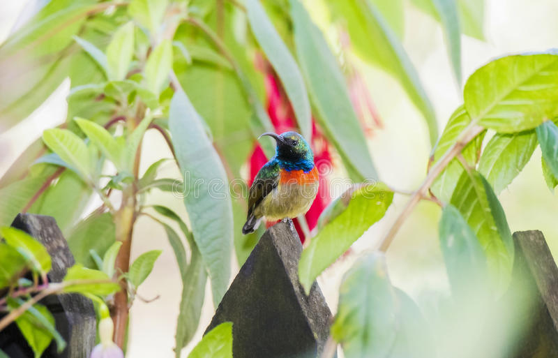 The Rare, Threatened, & Endemic Male Usambara Double-collared Sunbird royalty free stock images