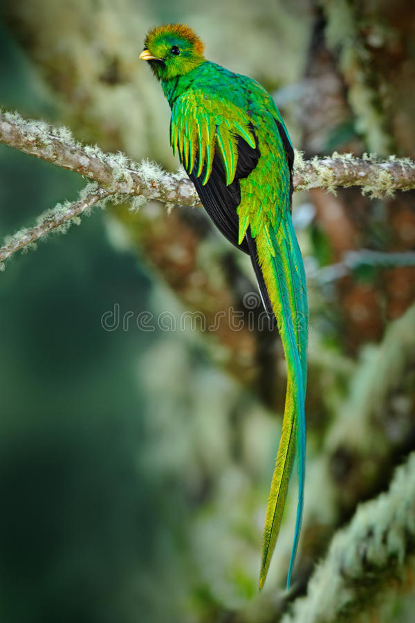 Rare tropic bird from mountain cloud forest. Resplendent Quetzal, Pharomachrus mocinno, magnificent sacred green bird with very lo royalty free stock photography
