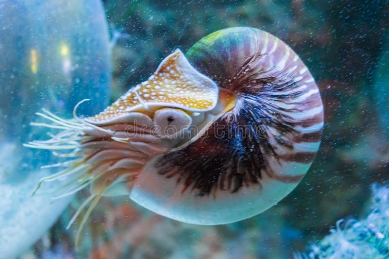 Rare tropical marine life portrait of a nautilus cephalopod a living shell fossil underwater sea animal. A Rare tropical marine life portrait of a nautilus royalty free stock photos