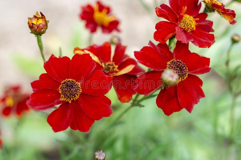 Rare version of beautiful flowers of Tagetes Marigolds are growing along the path of the house. Conception of gardening and home stock photo