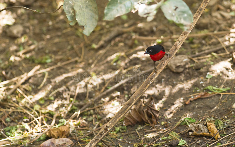 Download The rare Western Bluebill stock photo. Image of plumage - 18072242