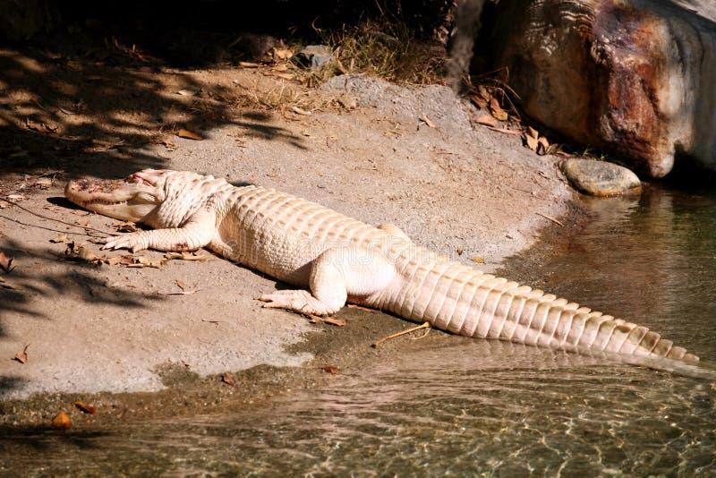 Rare white alligator royalty free stock images
