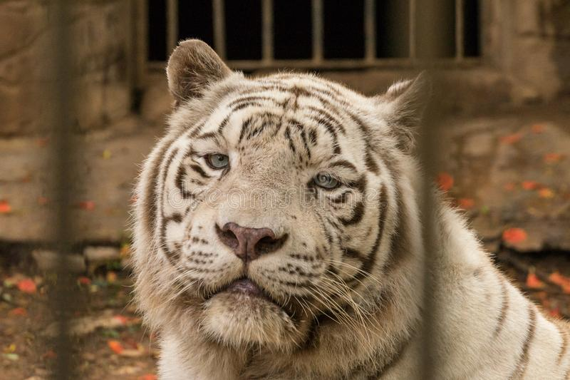 A rare white Bengal tiger close up portrait in zoo royalty free stock photography
