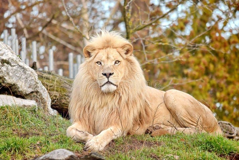 Rare White Lion Panthera Leo Krugeri Endangered Species. Stock photo stock photo
