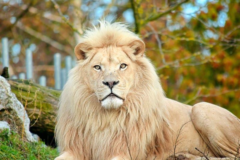 Rare White Lion Portrait Panthera Leo Krugeri Endangered Species. Rare White Lion Panthera Leo Krugeri Head Portrait Endangered Species Stock photo royalty free stock photo