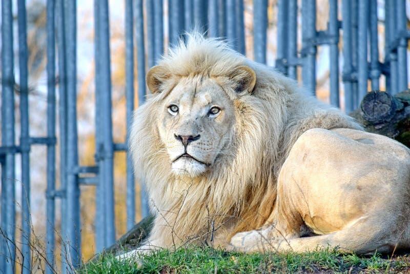 Rare White Lion Portrait Panthera Leo Krugeri Endangered Species stock photos