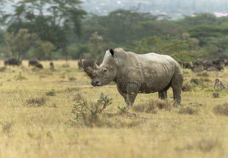 Rare White Rhino seen at lake nakuru. Kenya Africa stock image