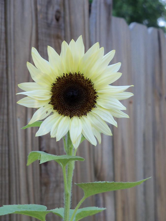 A rare white sunflower bloom against a weathered fence. A hybrid Coconut Ice white and brown Sunflower bloom against a weathered brown fence royalty free stock photography