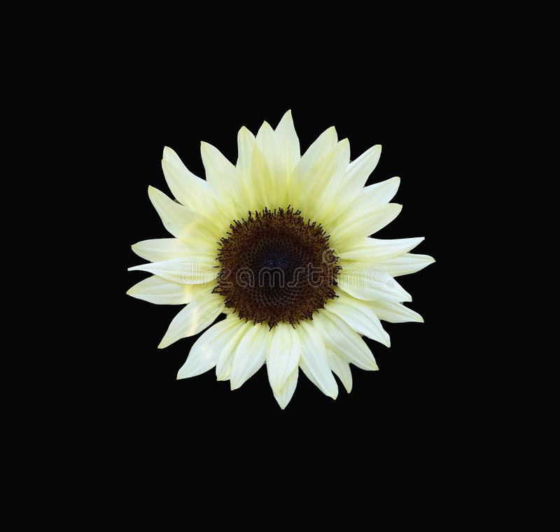 A rare white sunflower centered on a dramatic black background. A rare white sunflower with its brown center is centered on a dramatic black background royalty free stock image
