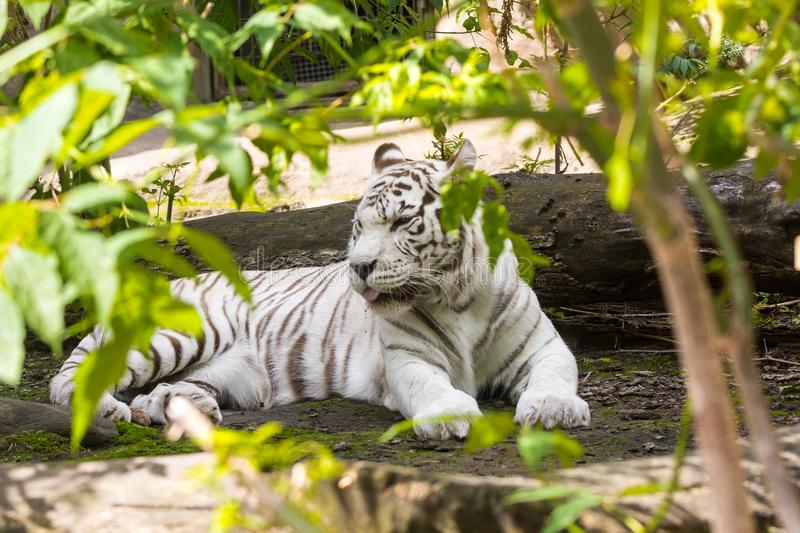 Rare white tiger slose portrait. Rare white tiger , shootin from far , summer 2017 royalty free stock image