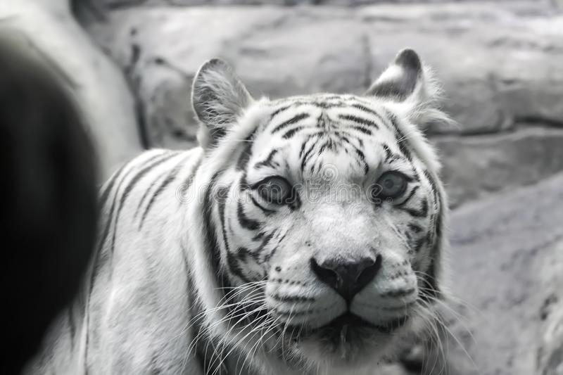 Rare white tiger slose portrait. Rare white tiger , shootin from far , summer 2017 royalty free stock photos