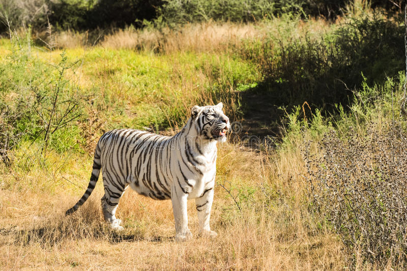 Download A Rare White Tiger In The Wild Stock Image - Image of asia, looking: 40781959