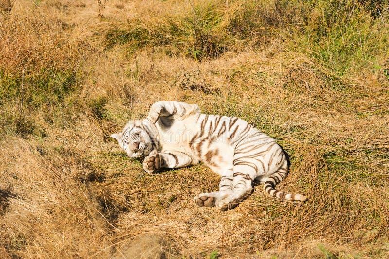 A Rare White Tiger In The Wild Stock Photo