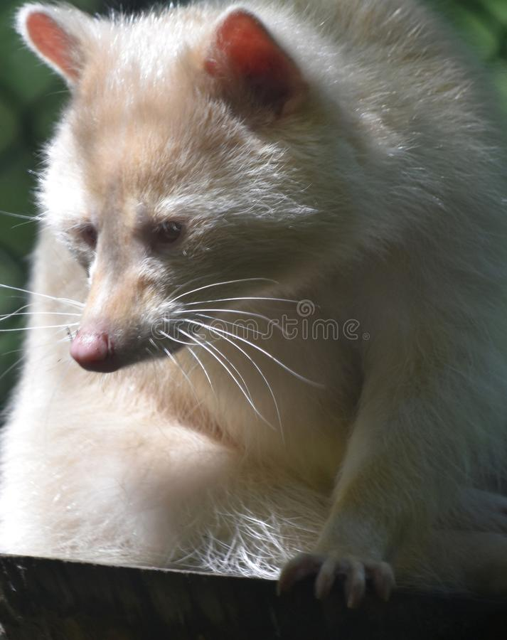 Rare Wild White Raccoon with Long Fur stock images