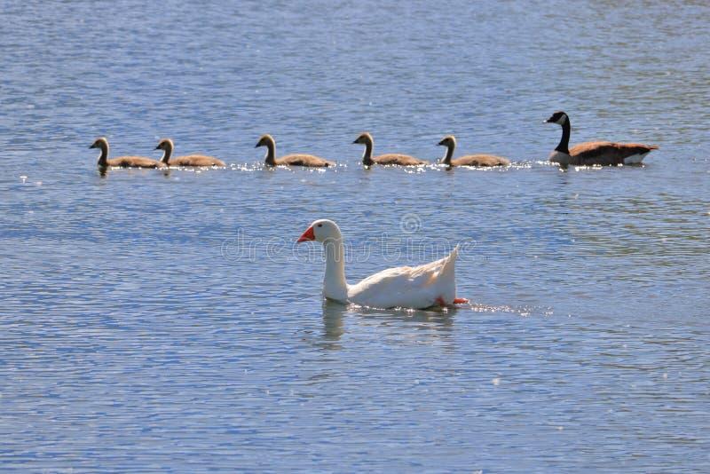 Rare Wildlife Mating Birds Species stock photos