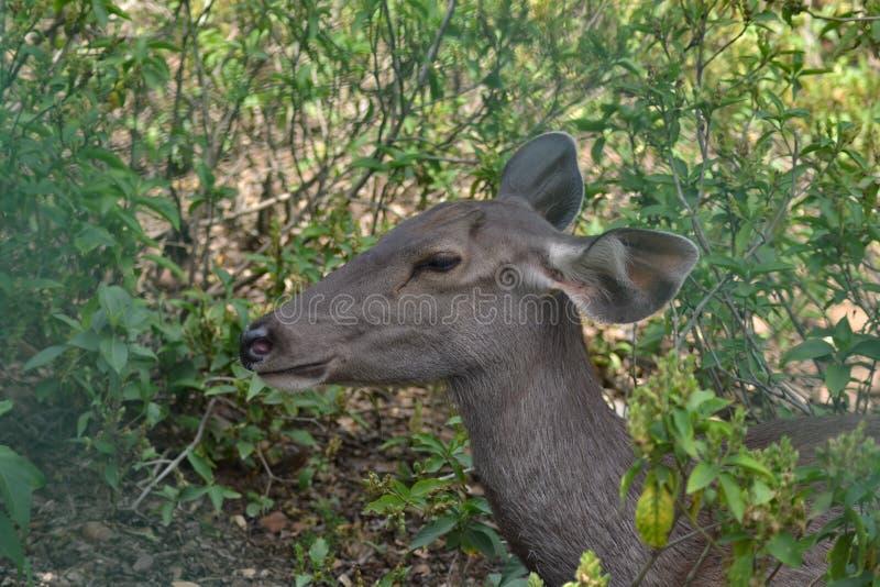 Raring på Manda Zoo Jammu och Kashmir royaltyfri fotografi