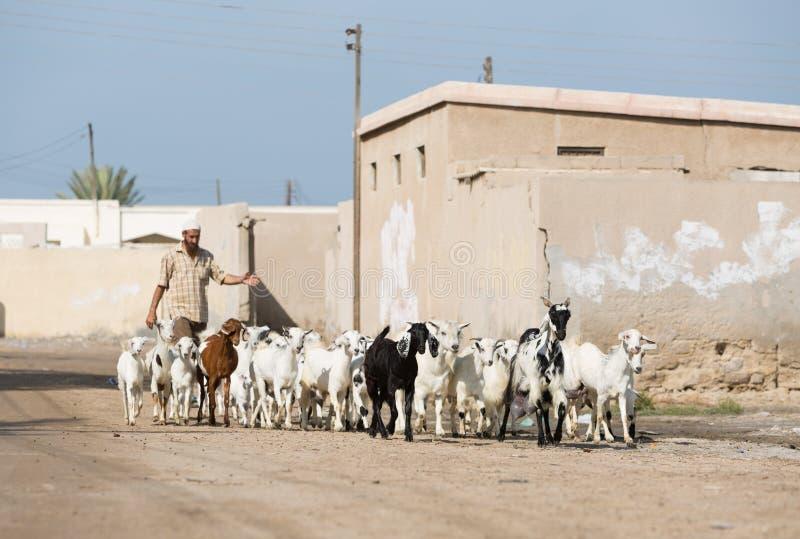 Ras Al Khaimah, Emiratos Árabes Unidos, 2/02/18/2016, um homem do árabe shepherds suas cabras completamente e a vila abandonada n imagens de stock