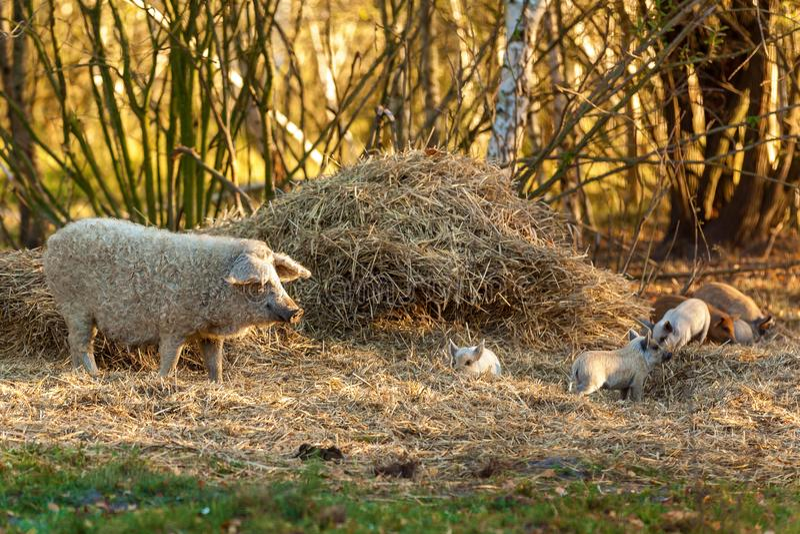 Ras van krullende varkens stock fotografie