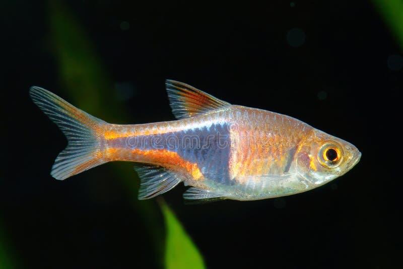 Rasbora鱼 库存照片