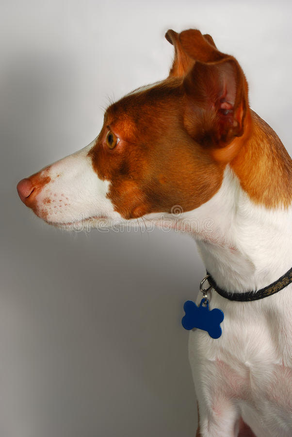 Download Rascal The Dog stock image. Image of background, pedigree - 17594133
