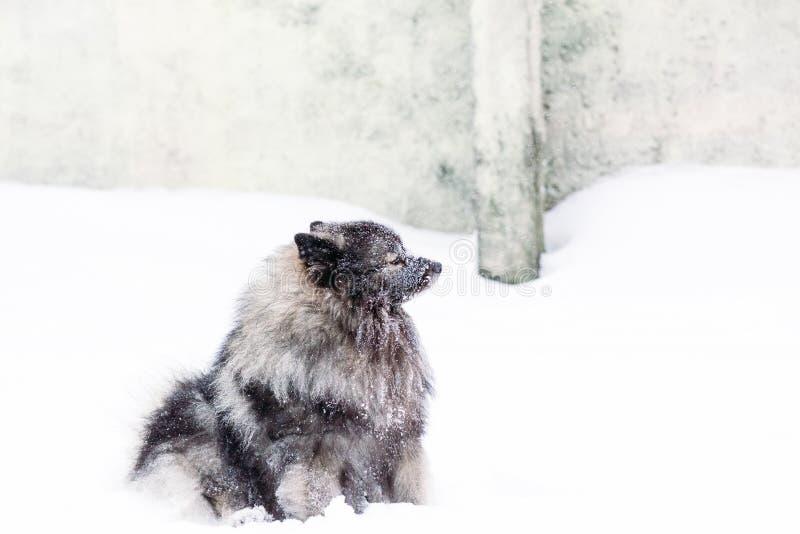 Rasdiekeeshondhond met sneeuw wordt behandeld stock afbeelding