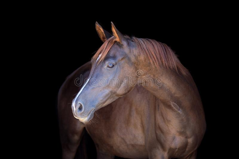 Rasecht Arabisch die paard op zwarte backgtound wordt geïsoleerd royalty-vrije stock afbeelding