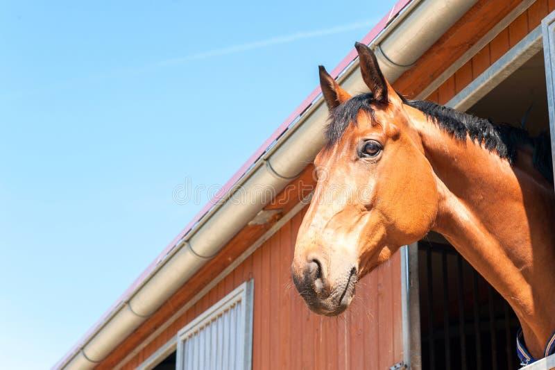 Rasecht het paardportret van de kastanjekleur In openlucht beeld stock foto