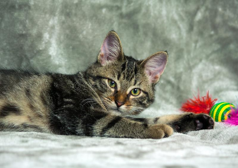 Rasecht katje die op een grijze plaid liggen, die de camera bekijken royalty-vrije stock fotografie