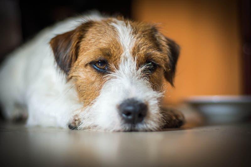 Rasecht mannelijk Jack Russell Terrier ligt onder de lijst en de rust royalty-vrije stock afbeelding