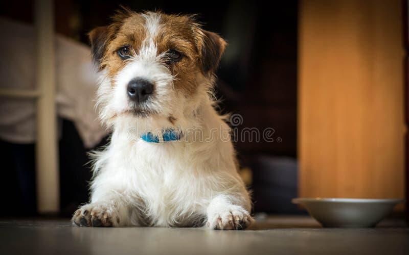 Rasecht mannelijk Jack Russell Terrier ligt onder de lijst en de rust stock foto's