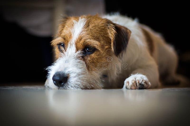 Rasecht mannelijk Jack Russell Terrier ligt onder de lijst en de rust royalty-vrije stock foto's