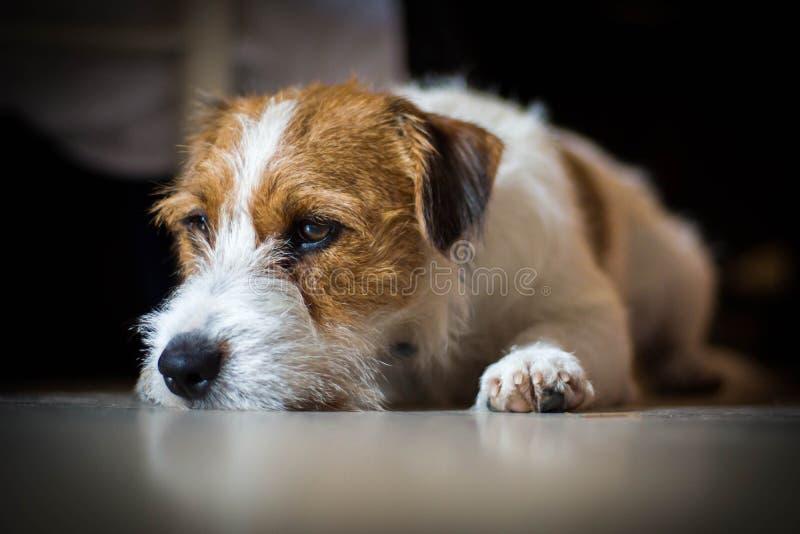 Rasecht mannelijk Jack Russell Terrier ligt onder de lijst en de rust royalty-vrije stock afbeeldingen