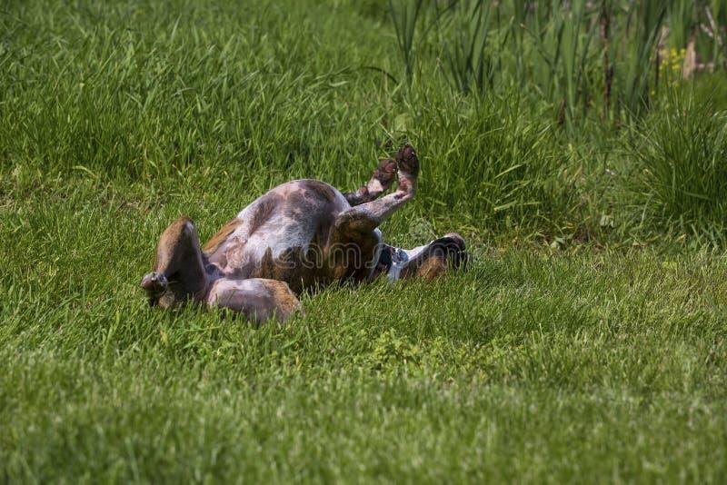 Rasechte Bokserhond die in het gras rollen stock foto's