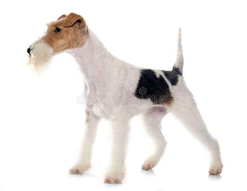 Rasechte fox-terrier royalty-vrije stock foto