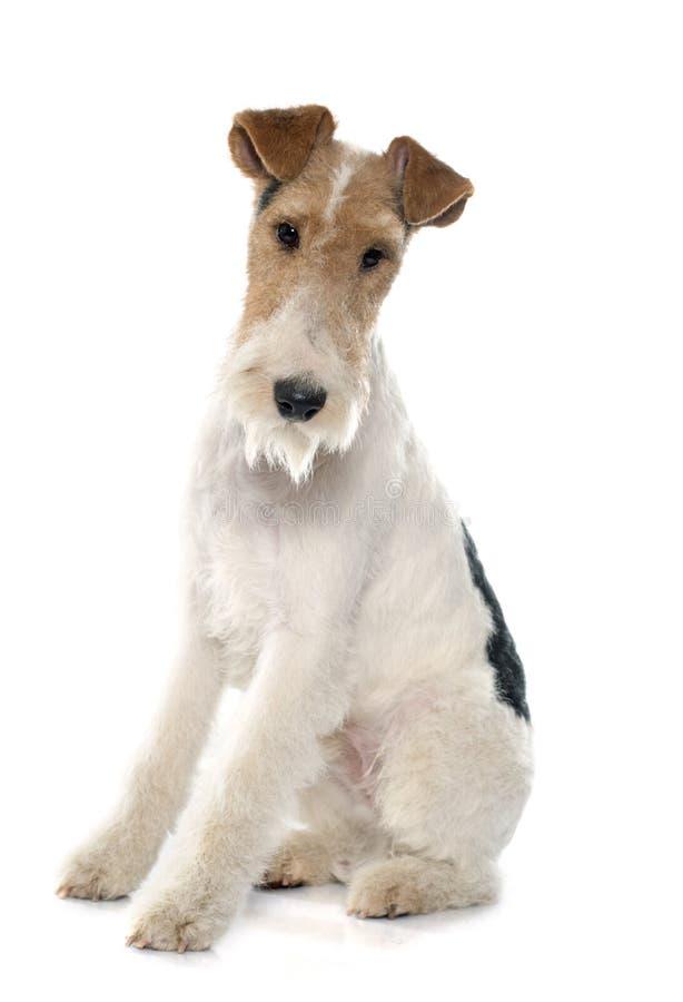Rasechte fox-terrier royalty-vrije stock foto's