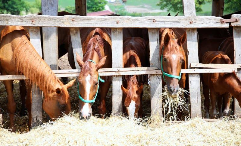 Rasechte jonge merries en veulennen die droog hooi eten bij paardboerderij stock afbeeldingen
