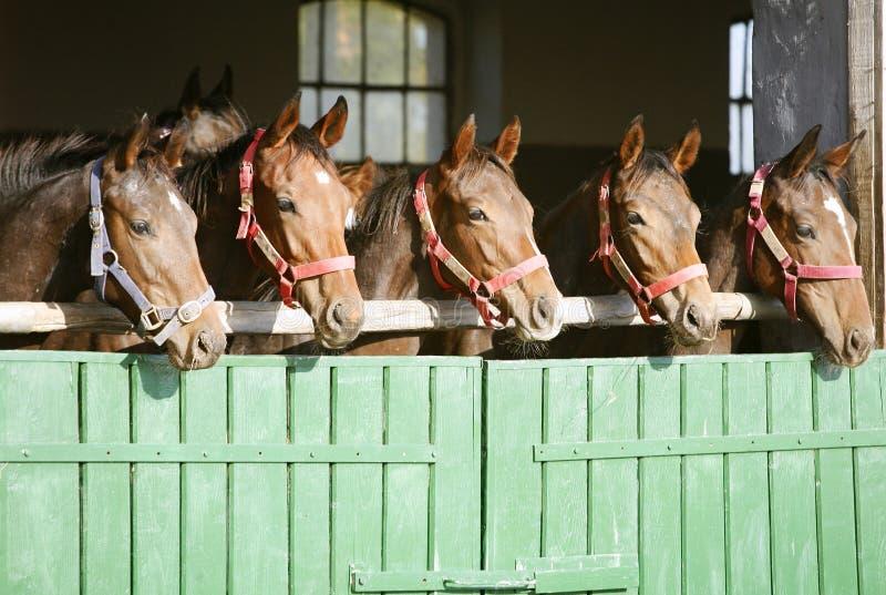 Rasechte kastanjerenpaarden die over de staldeur kijken stock illustratie afbeelding 82570873 - Deur tijdschrift nieuws ...