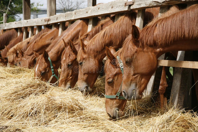 Rasechte paarden die vers hooi tussen de bars van een oud hout eten royalty-vrije stock afbeeldingen