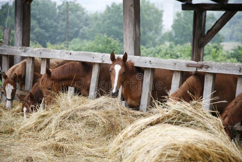 Rasechte paarden die vers hooi tussen de bars van een oude houten omheining eten royalty-vrije stock foto