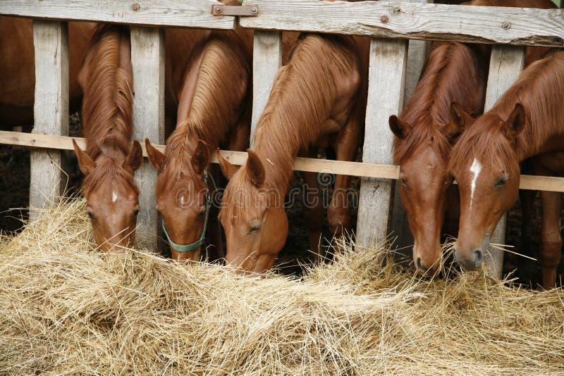 Rasechte paarden die vers hooi tussen de bars van een oude houten omheining eten stock foto's