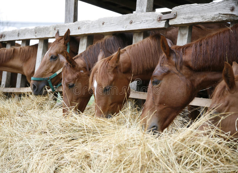 Rasechte paarden met hun hoofden die neer hooi eten stock afbeeldingen