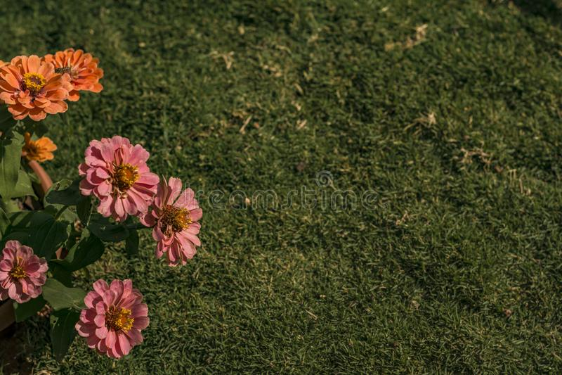 Rasen-und Zinnia-Blumen-Hintergrund lizenzfreie stockfotografie