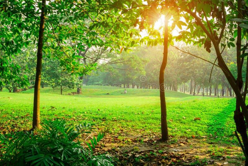 Rasenyard des grünen Grases in der Mitte der Bäume unter Sonnenlichtmorgen, Holz in einem allgemeinen Park lizenzfreies stockbild
