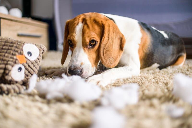 Rasgo do cão do lebreiro um brinquedo imagens de stock