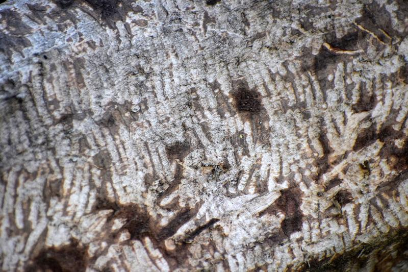 Rasgos de la presencia del castor cortan árboles por los castores imágenes de archivo libres de regalías