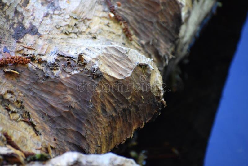 Rasgos de la presencia del castor cortan árboles por los castores imagen de archivo libre de regalías