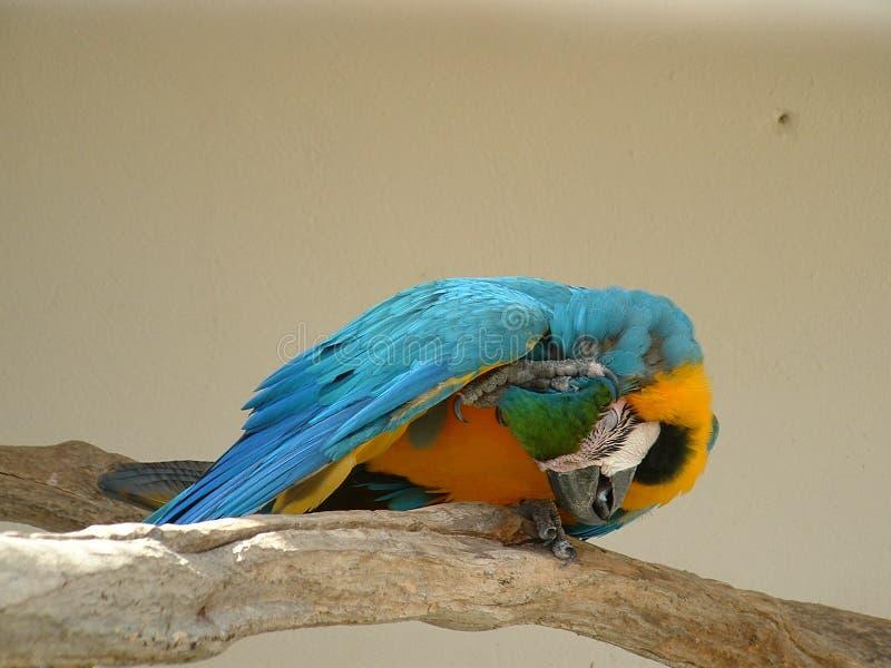 Rasguño del Macaw del azul y del oro foto de archivo libre de regalías