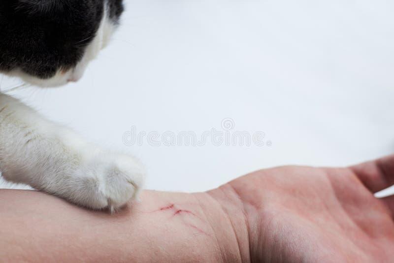 Rasguño en un hombre hecho a mano por un gato, la pata de un gato en una mano de un dueño en un fondo blanco fotos de archivo