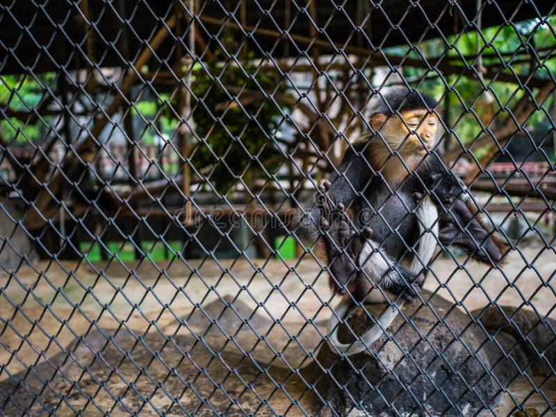 Rasguño rojo-shanked del mono del douc su cola, mono del nemaeus de Pygathrix detrás de la jaula fotografía de archivo